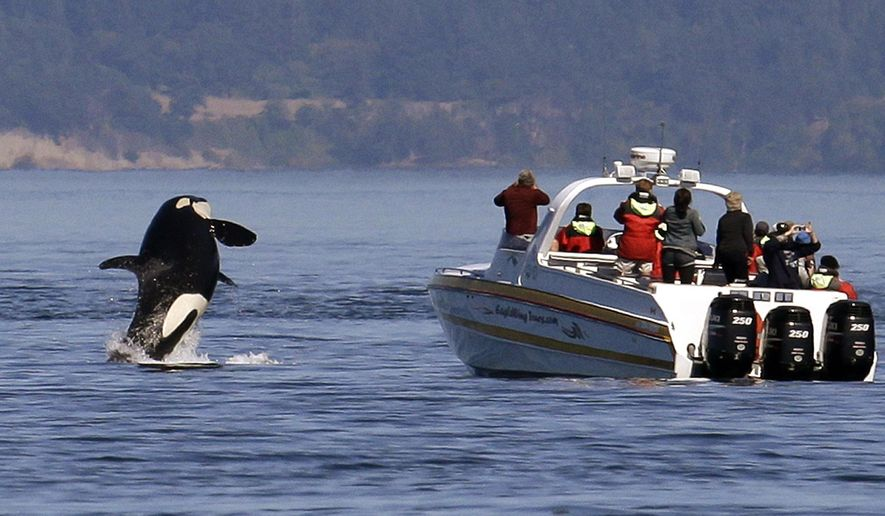 FILE - In this July 31, 2015 file photo, an orca leaps out of the water near a whale watching boat in the Salish Sea in the San Juan Islands, Wash. A Washington state task force on critically endangered Northwest orcas wants to temporarily suspend whale-watching boat tours focused on those whales. The group advising the governor voted Tuesday, Nov. 6, 2018 to recommend a three- to five-year moratorium on viewing southern resident killer whales by all boats in Puget Sound. (AP Photo/Elaine Thompson, File)