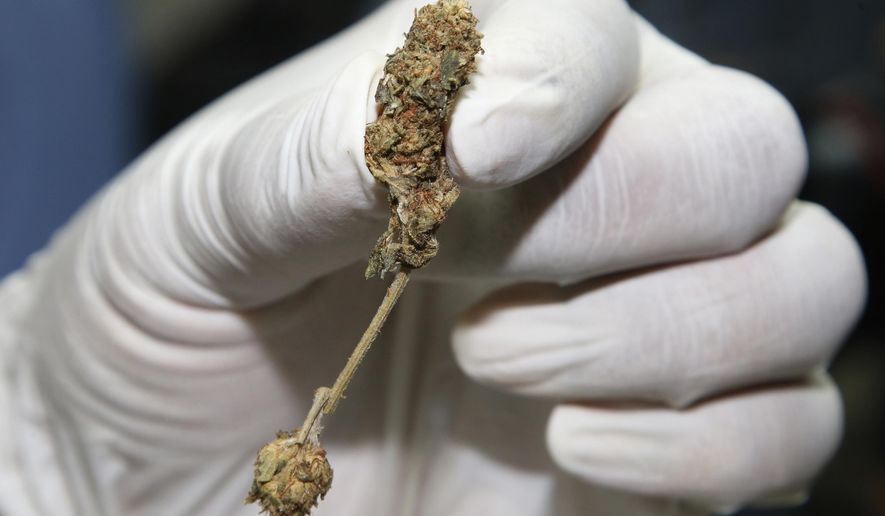 FILE - In this Sept. 25, 2018, file photo, a police officer shows buds of marijuana before a news conference Bangkok, Thailand. The National Legislative Assembly on Friday, Nov. 9, 2018, submitted amendments that would put marijuana and the plant kratom, popular locally as a stimulant and painkiller, into a legal category that would allow for their licensed possession and distribution under regulated conditions. (AP Photo/Sakchai Lalit, File)
