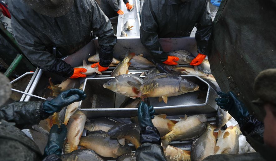 In this picture taken on Thursday, Nov. 15, 2018, fishermen sort fish, mostly carp, during the traditional fish haul of the Krcin pond near the village of Mazelov, Czech Republic. Czechs will have to pay more for their traditional Christmas delicacy this year after a serious drought devastated the carp population this year. (AP Photo/Petr David Josek)