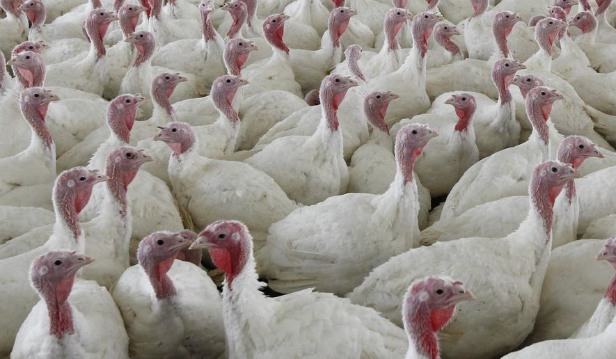FILE - This Wednesday, April 11, 2012 file photo shows turkeys at a farm in Lebanon, Pa. To kill the possibility of salmonella, cook birds to an internal temperature of at least 165 degrees. (AP Photo/Matt Rourke)
