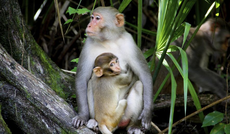 FILE- In this Sept. 17, 2013, file photo a female Rhesus Macaque monkey carries a young monkey by the Silver River in Silver Springs State Park in Florida. In a study released Monday, Nov. 19, 2018, in The Journal of Wildlife Management, researchers found that the number of rhesus macaques at Silver Springs State Park will grow to 350 animals or more by 2022. When the study was conducted in 2015, there were about 175 monkeys in the park. (Lisa Crigar/Star-Banner via AP, File)