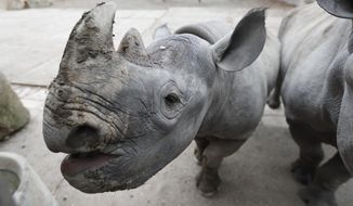 CORRECTES NAME OF DANISH PARK TO REE PARK SAFARI -- Jasiri , a female of critically endangered eastern black rhinos, stands in its enclosure at the zoo in Dvur Kralove, Czech Republic, Tuesday, Nov. 20, 2018. Zoo parks from three European countries are joining forces to send their rhinos to Rwanda, an African country where the entire population of the animal was wiped out during the genocide in the 1990s. Jasmina and other four rhinos from the Dvur Kralove zoo in the Czech Republic, Flamingo Land in Britain and Ree Park Safari in Denmark are being gathered in the Czech zoo to get used to each other and ready for a transport to Rwanda's Akagera park in May or June 2019. (AP Photo/Petr David Josek)