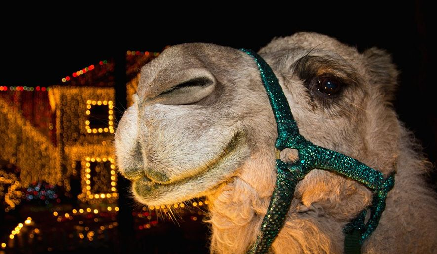 The name of the Camel is 'Dolly the Camel.'  She is owned by Jeneanne Crist of Cute as a Bug Petting Zoo. By Mark Addy.