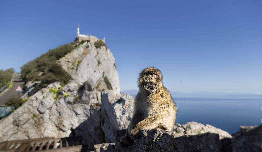 """In this Wednesday, March 1, 2017, file photo, a Barbary macaque, the only free-roaming monkeys in Europe pauses, with the Rock of Gibraltar looming in the background, in the British territory of Gibraltar. Spanish Prime Minister Pedro Sanchez said in a press conference on Wednesday Nov. 21, 2018, that his government is """"annoyed"""" that the divorce agreement being prepared for Britain's exit from the European Union doesn't specify that Gibraltar's future must be decided directly by officials in Madrid and London. (AP Photo/Daniel Ochoa de Olza, File)"""