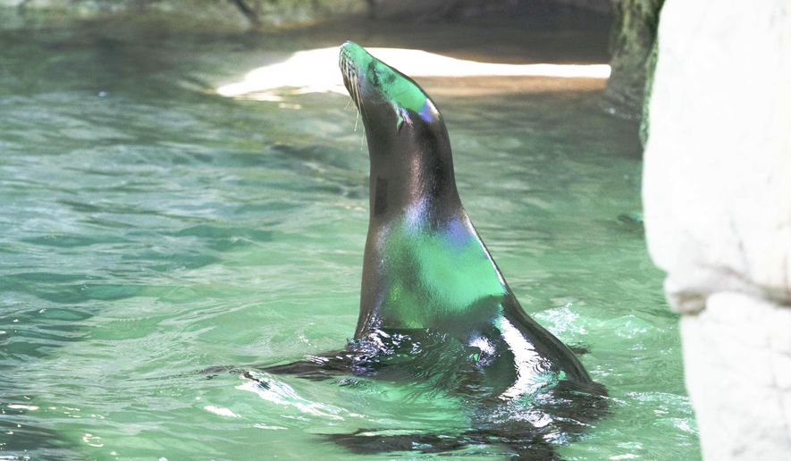 This November 2018 photo provided by The Audubon Nature Institute shows one of two partially blind sea lions inside the sea lion habitat of the Audubon Zoo in New Orleans. A pair of visually impaired 2-year-old sea lions has joined the four sea lions already at the zoo. Zoo officials say in a news release that Ayah and Jolee were both malnourished when rescued along different parts of the California coast in June 2017. (Jonathan Vogel/The Audubon Nature Institute via AP)