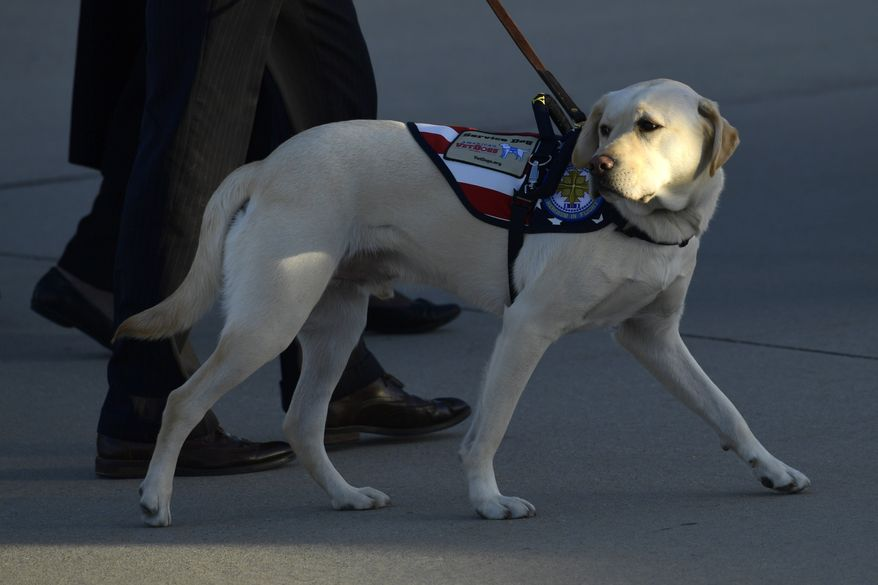 Sully, the service dog of former President George H.W. Bush looks back as he arrives at Andrews Air Force Base in Md., Monday, Dec. 3, 2018, accompanying the casket of Bush who died Friday at age 94. (AP Photo/Susan Walsh)