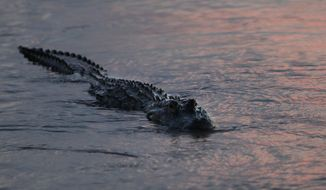 In this Oct. 3, 2018 photo, an alligator floats at dusk in the Davis Pond Diversion in Luling, La. (AP Photo/Gerald Herbert)