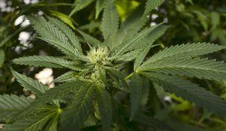 This Sept. 11, 2018, file photo shows a marijuana plant in San Luis Obispo, Calif. (AP Photo/Richard Vogel, File)