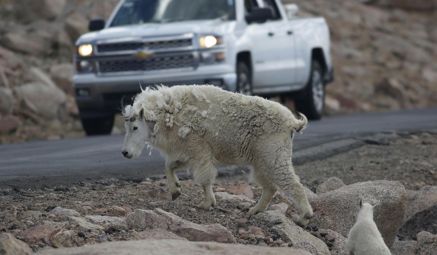 File - In this July 15, 2016 file photo, a mountain goat leads its' kid across the Mount Evans Scenic Byway just below the summit near Idaho Springs, Colo. Spotting a mountain goat perched high on a cliff might thrill many visitors to a national park in Wyoming but park officials said Tuesday, Deb. 4, 2018, the agile animals might need to go. Grand Teton National Park officials say the park's 100 or so mountain goats threaten a herd of about 80 bighorn sheep. (AP Photo/David Zalubowski, File)