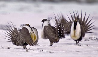 In this April 20, 2013, file photo, male greater sage grouse perform mating rituals for a female grouse, not pictured, on a lake outside Walden, Colo. (AP Photo/David Zalubowski, File)