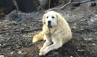 """This Friday Dec. 7, 2018, photo provided Shayla Sullivan shows """"Madison,"""" the Anatolian shepherd dog that apparently guarded his burned home for nearly a month until his owner returned in Paradise, Calif. Sullivan, an animal rescuer, left food and water for Madison during his wait. (Shayla Sullivan via AP)"""