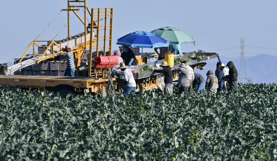 Farmworkers harvest broccoli in an Adams Brothers Farm field near Santa Maria, Calif., on Thursday, Dec. 13, 2018. U.S. health officials have traced a dangerous bacterial outbreak in romaine lettuce to at least one farm in central California. The Food and Drug Administration said 59 people have now been sickened by the tainted lettuce. Officials said a water reservoir at Adams Brothers Farms in Santa Barbara County tested positive for the bacterial strain and the owners are cooperating with U.S. officials. (Len Wood/Santa Maria Times via AP)