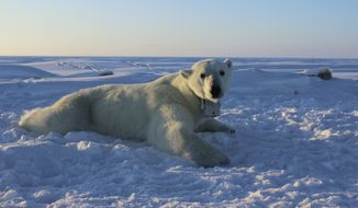FILE - In this April 15, 2015, file photo, provided by the United States Geological Survey, a polar bear wearing a GPS video-camera collar lies on a chunk of sea ice in the Beaufort Sea. A tiny Alaska Native village has experienced a boom in tourism in recent years as polar bears spend more time on land than on diminishing Arctic sea ice. Alaska's Energy Desk reports more than 2,000 people visited the northern Alaska village of Kaktovik on the Beaufort Sea in 2017 to see polar bears in the wild. Jennifer Reed of the Arctic National Wildlife Refuge says the village had less than 50 visitors annually before 2011. (Anthony Pagano/USGS via AP)