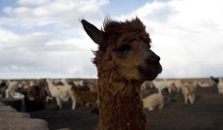 This Dec. 11, 2018 photo shows a llama on the Vinto homestead, on the outskirts of Santiago de Machaca, Bolivia. Friendly and endearing, the llama has wandered across the Bolivian plains in scattered herds since it was domesticated in South America more than 4,000 years ago. (AP Photo/Juan Karita)