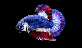 In this undated photo, a Siamese fighting fish is captured showing its bright blue, red and white coloring. The Siamese fighting fish, whose violent territoriality makes it beloved by gamblers who pit them in fish tank battles against each other, is set to become Thailand's national aquatic animal. (Kun Eak Nakhon Pathom via AP)