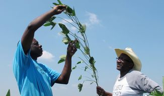 FILE - In this June 25, 2018, file photo, Tyrone Grayer, left, and David Allen Hall inspect a soybean plant at their farm in Parchman, Miss. A judge is ordering settlement talks in a lawsuit filed by black farmers from Mississippi and Tennessee including Hall and Grayer, who claim Stine Seed Co. sold them faulty soybean seeds because of their race. (AP Photo/Adrian Sainz, File)