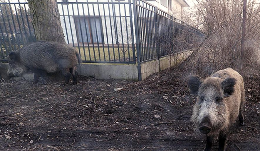 In this photo taken March 25, 2018, wild boar are seen roaming near houses in Lomianki county on Warsaw outskirts.Tens of thousands of Poles are protesting a government plan to hold a massive slaughter of wild boars as a way to stop the spread of the deadly African swine fever among farm pigs. (AP Photo/Czarek Sokolowski)