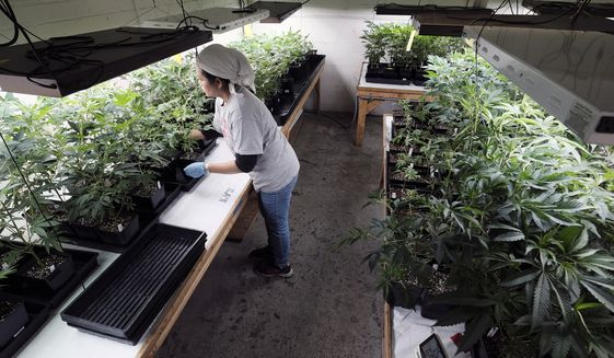 FILE - In this Dec. 27, 2018 file photo a grower at Loving Kindness Farms attends to a crop of young marijuana plants in Gardena, Calif. Gavin Newsom's new budget is a figure that says a lot about California's shaky legal marijuana market: the state is expecting a lot less cash coming in from cannabis taxes. The Democrat's proposed spending plan projects the state will bank $355 million in marijuana excise taxes by the end of June, roughly half of what was once expected after broad legal sales kicked off last year. (AP Photo/Richard Vogel, file)