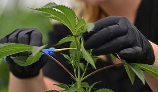 FILE - In this Sept. 20, 2018, file photo, an employee at a medical marijuana cultivator works on topping a marijuana plant, in Eastlake, Ohio. South Carolina lawmakers are once again introducing legislation to legalize marijuana for treatment of critically ill patients in the state, making another go at a debate that has gradually made progress in this deeply red state in recent years.Sen. Tom Davis, a Republican from Beaufort, told The Associated Press that he plans on Tuesday, Jan. 15, 2018, to file the Compassionate Care Act in the state Senate. (AP Photo/David Dermer, File)