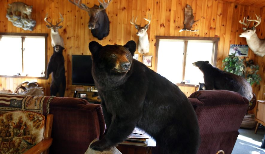 In this Friday, Sept. 19, 2014, file photo, a black bear dominates a collection of trophy mounts at a hunting camp in Wilton, Maine. Black bear hunting has a long tradition in Maine, which has the largest population of the animals on the East Coast. State lawmakers are set to consider a law change authored by the pro-hunting Sportsman's Alliance of Maine that would give state biologists the ability to adjust the length of the bear hunting season and the number of animals a hunter can kill. (AP Photo/Robert F. Bukaty, files)