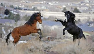 FILE - In this Jan. 13, 2010, file photo, two young wild horses play while grazing in Reno, Nev. A U.S. judge has extended a protective order preventing the slaughter of a horse named Lady that has been missing since a tribal roundup in Nevada, in a case reflecting a long fight over the capture of wild horses on federal land. (Andy Barron/Reno Gazette-Journal via AP, File)