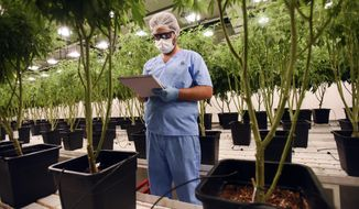 An employee of Fotmer SA, an enterprise that produces cannabis for medical use, writes down observations, inside a greenhouse in Montevideo, Uruguay, Tuesday, Jan. 29, 2019. Almost six years after Uruguay grabbed international attention by becoming the first country in the world to legalize marijuana market, the small South American country is now looking to become a global leader in the sale of medicinal cannabis. (AP Photo/Matilde Campodonico)