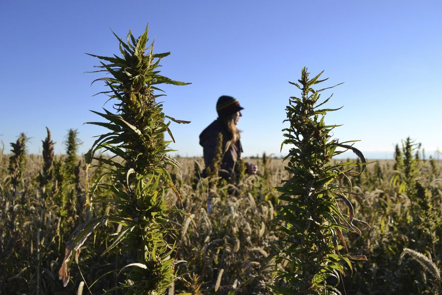 FILE - In this Oct. 5, 2013 file photo, a woman stands in a hemp field at a farm in Springfield, Colo. On Tuesday, Feb. 12, 2019, a hearing was held at the State Capitol in Lincoln, Neb., on a bill that would open the market to grow and harvest hemp in Nebraska, two months after President Donald Trump signed a law to legalize hemp. (AP Photo/P. Solomon Banda)