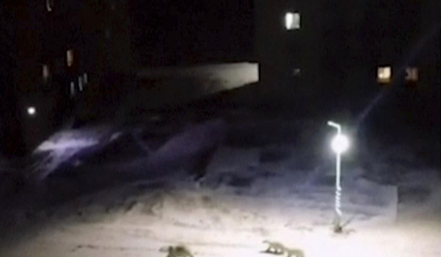 In this image taken from video, a mother polar polar bear and two cubs walk across the courtyard of a residential block, Monday, Feb. 11, 2019, in Belushya Guba, Novaya Zemlya, Russia. Russian wildlife specialists are heading to the Arctic archipelago to try to resolve why the polar bears have moved into the area. More than 50 bears have been spotted in the archipelago's main town of Belushya Guba.  (@muah_irinaelis via AP)