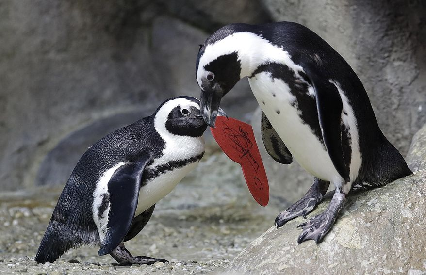 An African penguin carries a heart shaped valentine handed out by aquarium biologist Piper Dwight to its nest at the California Academy of Sciences in San Francisco, Tuesday, Feb. 12, 2019. The hearts were handed out to the penguins who naturally use similar material to build nests in the wild. (AP Photo/Jeff Chiu)