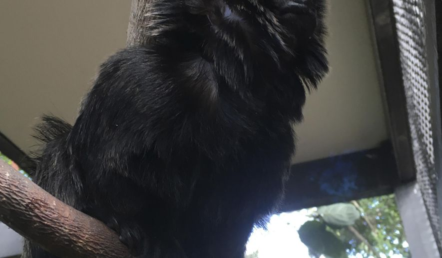 """In this undated photo provided by the Palm Beach Zoo, Kali, a 12-year-old rare Goeldi's monkey, sits on a branch at an enclosure at the zoo, in West Palm Beach, Fla. Police in Florida are on the lookout for the monkey that was stolen Monday, Feb. 11, 2019, from the zoo. Zoo president Margo McKnight said Goeldi's monkeys are """"increasingly sought after for the illegal pet trade."""" (Palm Beach Zoo via AP)"""