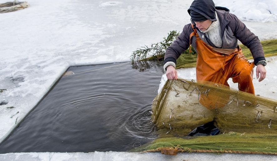 In this photo taken on Saturday, Feb. 9, 2019, a fisherman checks a net during a traditional winter smelt fish festival on Lusiai lake some 120 kilometers (74 miles) north of Vilnius, Lithuania. Winter months means weekends on frozen lakes for smelt-crazed Lithuanians, who fish the small, popular silvery fish that smells like fresh cucumber - after drilling a hole in the ice, they create vibrations to attract the roughly 20-centimeter (8-inch) long fish that ultimately get entangled in their nets. (AP Photo/Mindaugas Kulbis)