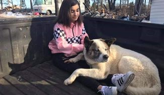This Feb. 18, 2019 photo provided by Ben Lepe shows Maleah Ballejos reunited with her dog Kingston in Paradise, Calif. The Akita named Kingston was reunited with his family 101 days after he jumped out of their truck as they fled a devastating Northern California wildfire. (Ben Lepe via AP)