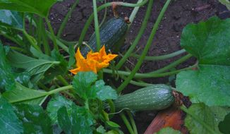 This July 22, 2011 photo of a zucchini plant, shown in a raised bed garden near New Market, Va., is a favorite of squash bees that forage in its flowers, fertilizing them in the process. Some bee species are generalists while others specialize in the types of blossoms they seek. (Dean Fosdick via AP)