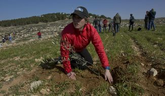 In this Friday, Jan. 25, 2019, file photo, young American rabbinical students plant olive trees, on the land near the West Bank village of Attuwani, south of Hebron. The students are doing more than visiting holy sites, learning Hebrew and poring over religious texts during their year abroad in Israel. In a departure from past programs that focused on strengthening ties with Israel and Judaism, the new crop of rabbinical students is also reaching out to the Palestinians. (AP Photo/Nasser Nasser)