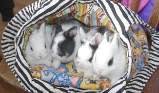 In this Feb. 20, 2019 photo, bunnies are posed f in a comfortable cloth bag in Fremont, Neb. For a therapy session, Chelsea Lambert will put just one bunny in this bag, which becomes like a burrow. Instead of picking the rabbit up to move it to the each person in the therapy session, she slides the bag on the table to next person. Its less stress on the rabbit, she said. (Tammy Real-McKeighan/The Tribune via AP)