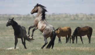 FILE - In this July 18, 2018, file photo, a wild horse jumps among others near Salt Lake City. The U.S. government is seeking new pastures for thousands of wild horses that have overpopulated Western ranges. Landowners interested in hosting large numbers of rounded-up wild horses on their property can now apply with the U.S. Bureau of Land Management. (AP Photo/Rick Bowmer, File)