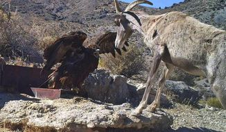 FILE - In this 2012 file photo captured by a U.S. Fish and Wildlife Service motion-activated camera, a golden eagle confronts a desert bighorn sheep at Desert National Wildlife Refuge in Nevada. Conservationists are rallying around a pair of state legislative resolutions opposing the proposed expansion of an Air Force bombing training range they say would threaten big horn sheep and other wildlife at a national refuge in southern Nevada. (U.S. Fish and Wildlife Service via AP, File)