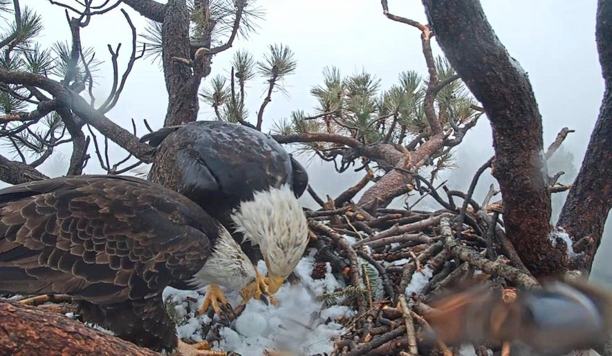 This photo taken from a web camera provided by Friends of Big Bear Valley shows two bald eagles looking over a newly hatched egg Thursday, March 7, 2019, as strong, cold winds blow through the San Bernardino National Forest. U.S. Forest Service biologist Robin Eliason said Wednesday that the parents will share incubation duties for the next month or so. Eliason expects the hatchling will arrive in early April. (Friends of Big Bear Valley via AP)