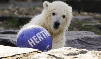 The polar bear cub Hertha plays with a ball of soccer club Hertha BSC, after the announcing of her name, at the Tierpark zoo in Berlin, Tuesday, April 2, 2019. The Berlin soccer club is the sponsor of the bear and decide for the name of the animal, who was born Dec. 1, 2018 at the Tierpark. (AP Photo/Markus Schreiber)