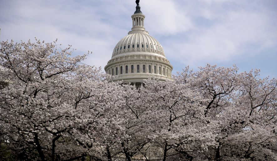 The Dome of the U.S. Capitol Building is visible as cherry blossom trees bloom on the West Lawn, Saturday, March 30, 2019, in Washington. Peak bloom is expected April 1, according to the National Park Service. (AP Photo/Andrew Harnik)