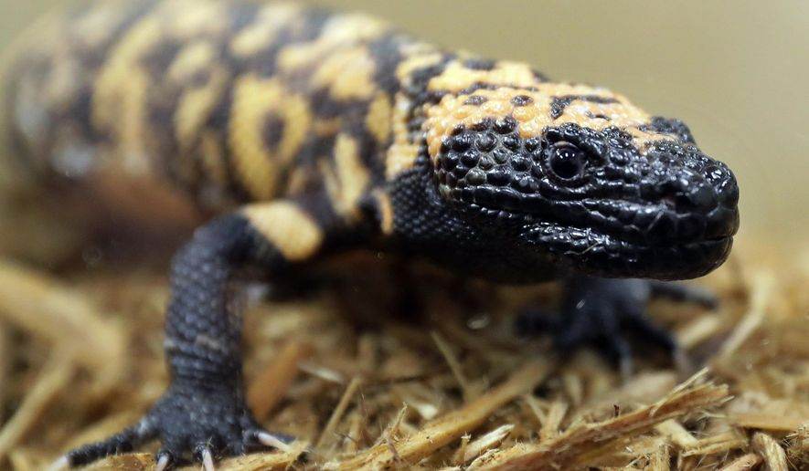 FILE - This Dec. 14, 2018 file photo shows a Gila monster at the Woodland Park Zoo in Seattle. Utah has named the venomous lizard with black and yellow bead-like scales as its state reptile. Republican Gov. Gary Herbert signed a bill into a law on March 27 that adds the Gila monster to the list of state symbols, honoring the lizard among such things as the beehive, the Dutch oven, elk and sea gulls. (AP Photo/Ted S. Warren, File)