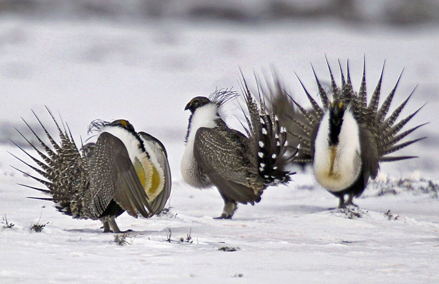 FILE - In this April 20, 2013 file photo, male greater sage grouse perform mating rituals for a female grouse, not pictured, on a lake outside Walden, Colo. Wyoming's new governor plans no big changes to the state's sage grouse conservation strategy even as U.S. officials take a new approach to protecting the birds. Republican Gov. Mark Gordon announced Wednesday, April 3, 2019, he will extend a public-comment period from April 8 to May 1 before he revises Wyoming's strategy. (AP Photo/David Zalubowski, File)