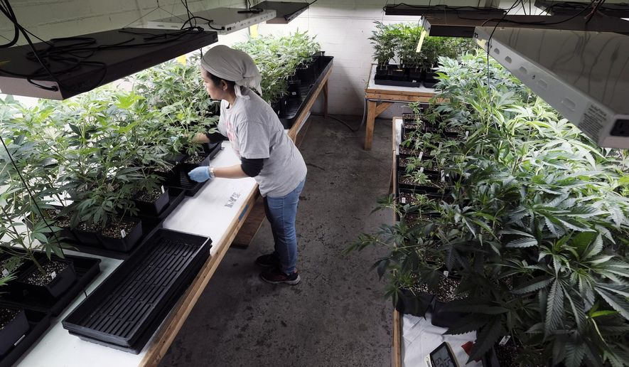 FILE - In this Dec. 27, 2018 file photo a grower at Loving Kindness Farms attends to a crop of young marijuana plants in Gardena, Calif. The California Senate on Thursday, April 4 moved to close a licensing gap for state marijuana growers, the latest problem to bedevil the shaky legal marketplace. (AP Photo/Richard Vogel, File)