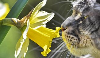 A cat smells at a flower in the warm spring sun in a garden in Gelsenkirchen, Germany, Friday, March 22, 2019. (AP Photo/Martin Meissner)
