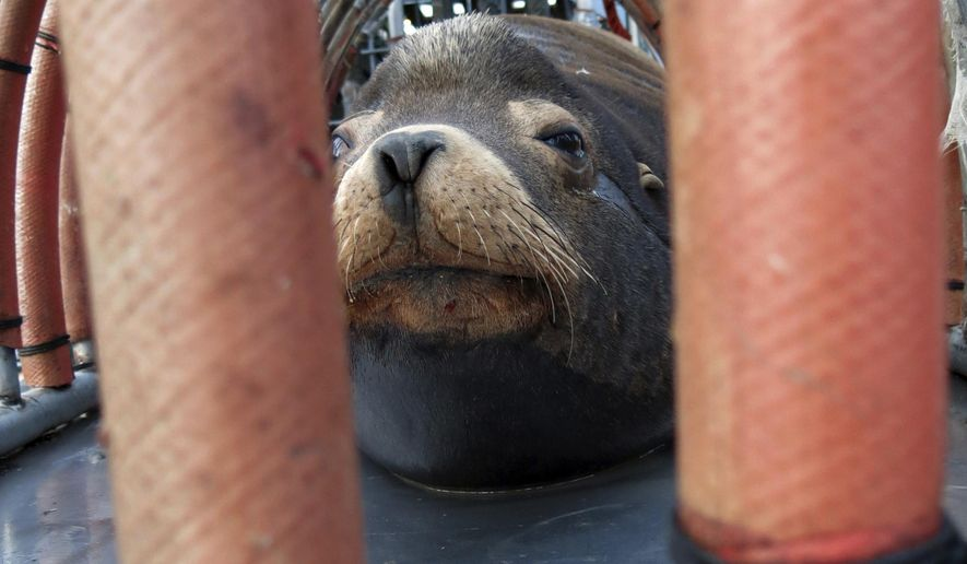 "FILE - In this March 14, 2018, file photo, a California sea lion peers out from a restraint nicknamed ""The Squeeze"" near Oregon City, Ore., as it is prepared for transport by truck to the Pacific Ocean about 130 miles away. The male sea lion was released south of Newport, Ore., in a program designed to reduce the threat to wild winter steelhead and spring chinook salmon in the Willamette River. Wildlife officials say a plan to kill California sea lions to save an endangered run of fish on an Oregon river is working. The Oregon Department of Fish and Wildlife says that 2,400 steelhead reached the upper Willamette River to spawn this spring, the most in three years. (AP Photo/Gillian Flaccus, File)"