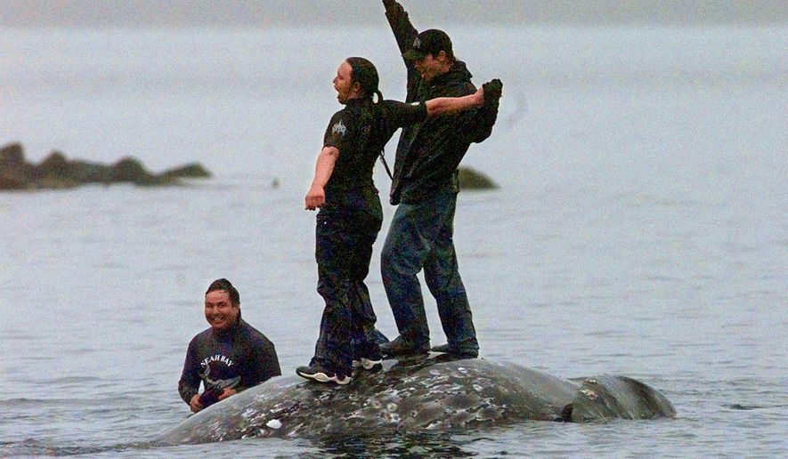 FILE - In this May 17, 1999 file photo, two Makah Indian whalers stand atop the carcass of a dead gray whale moments after helping tow it close to shore in the harbor at Neah Bay, Wash. Earlier in the day, Makah Indians hunted and killed the whale in their first successful hunt since voluntarily quitting whaling over 70 years earlier. Federal officials are now supporting the Native American tribe's decades-long request to resume whale hunts off the coast of Washington state.The National Oceanic and Atmospheric Administration on Thursday, April 4, 2019, announced its proposal to allow the Makah Tribe to hunt and harvest one to three gray whales annually over a 10-year period. (AP Photo/Elaine Thompson, File)