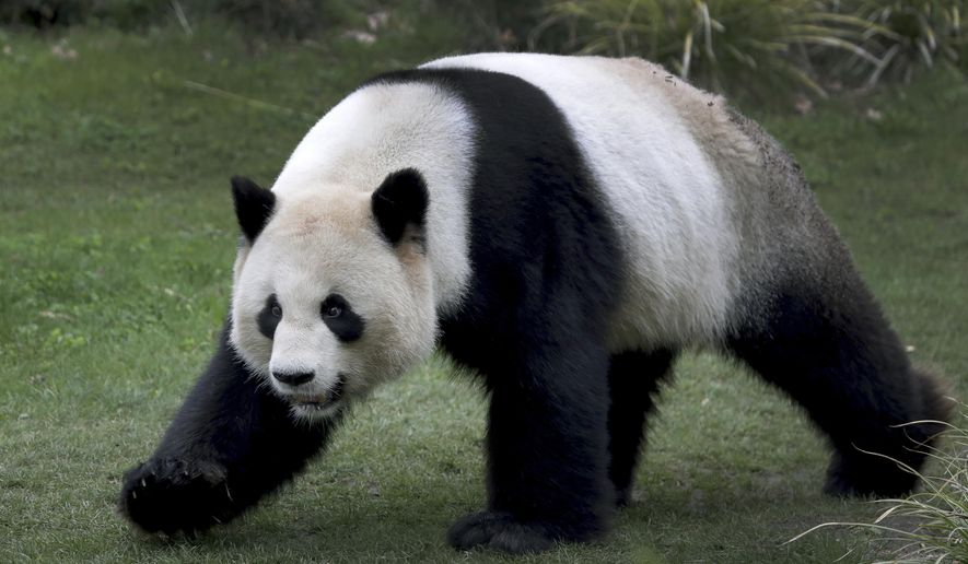 Male panda Jiao Qing walks in its enclosure at the Zoo in Berlin, Germany, Friday, April 5, 2019. (AP Photo/Michael Sohn)
