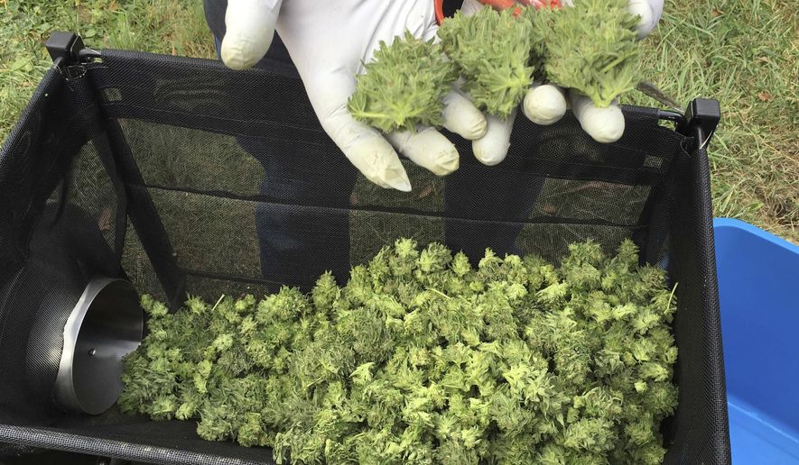 FILE - In this Sept. 30, 2016 file photo, a marijuana harvester examines buds going through a trimming machine near Corvallis, Ore. Oregon lawmakers are anticipating the federal government legalizing, or at least tolerating, the interstate transfer of marijuana and have moved forward a bill empowering the governor to enter into agreements with other states for such transactions. The completely rewritten bill was approved by the Senate Judiciary Committee in April 2019, sending it to the Senate floor for a vote. (AP Photo/Andrew Selsky, File)