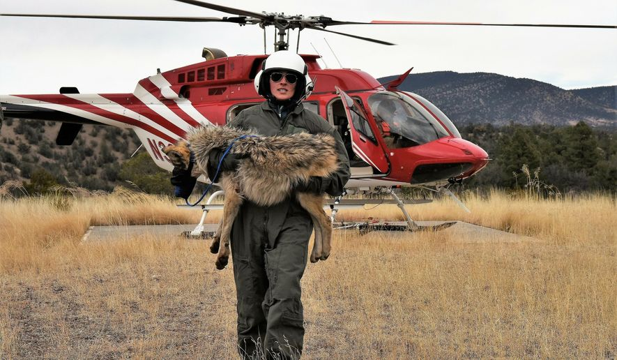 In this Feb. 13, 2019, photo provided by the U.S. Fish and Wildlife Service, a member of the Mexican gray wolf recovery team carries a wolf captured during an annual census near Alpine, Ariz. The agency announced the results of the survey Monday, April 8, 2019, saying there has been an increase in the population of Mexican gray wolves in the wild in New Mexico and Arizona. (Mark Davis, U.S. Fish and Wildlife Service via AP)