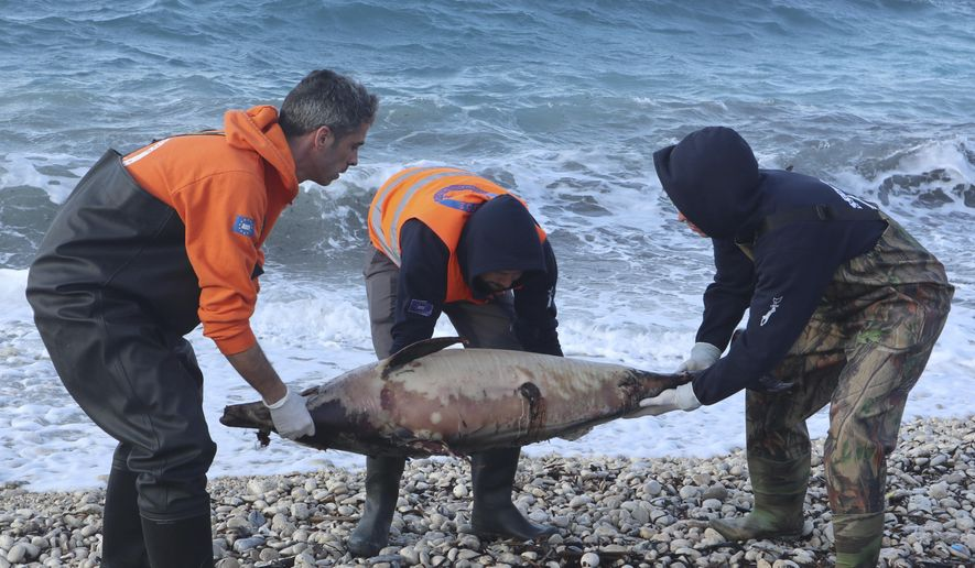 """In this photo provided by Archipelagos Institute of Marine Conservation members of Archipelagos institute carry a dead dolphin at a beach of Samos island, Aegean sea, Greece, on Saturday, Feb. 9, 2019. A Greek marine conservation group says a """"very unusual"""" increase in Aegean Sea dolphin deaths over recent weeks may be linked with recent Turkish naval exercises in the area. A total 15 dead dolphins have washed up on the eastern island of Samos and other parts of Greece's Aegean coastline since late February, according to the Archipelagos Institute.(Bre-Anne Smith /Archipelagos via AP)"""